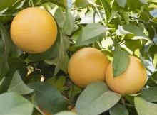 ekzoticheskiy-pomelo
