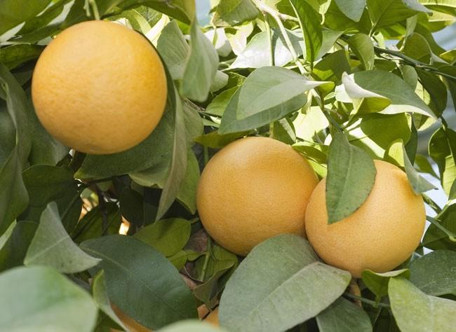 Помело фрукт гибрид чего